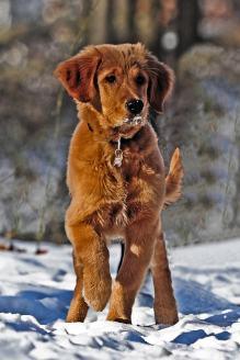 Top-Pet • Le poil du chien : en hiver